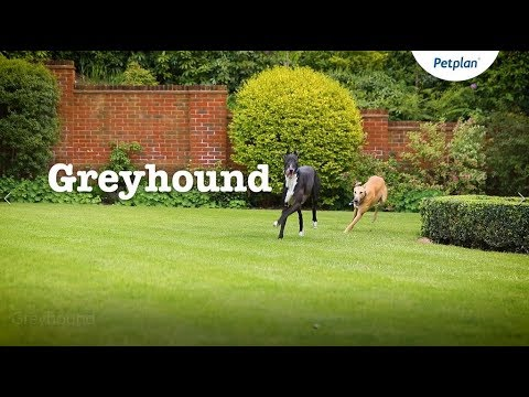 Greyhound Dog Breed Information: Temperament & Facts | Petplan