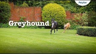 Greyhound Dog Breed Information: Temperament & Facts | Petplan
