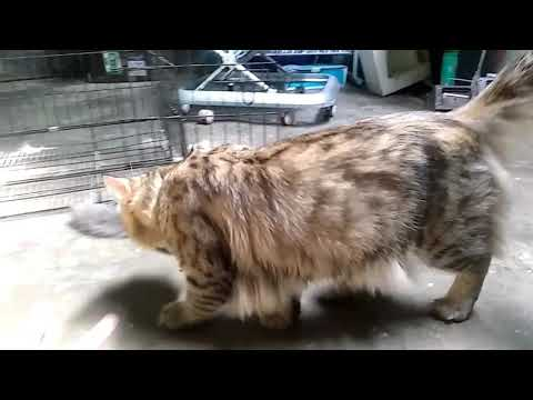 PERSIA MIX MAINE COON