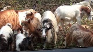 Koze imaju prednost