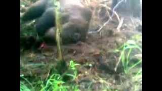 Охота медведь в петле