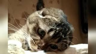 Шотландская вислоухая кошка.  Питомник Мелоди Соул 😻