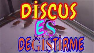 Discus Eş Tutma, Eş Değiştirme, Discus Eş Seçimi, Discus Nasıl Eş Tutar.