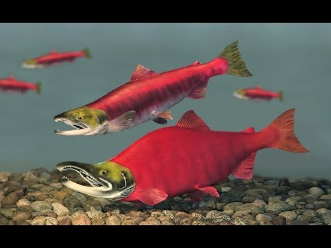 Pacific Salmon - Mysterious Instinct (Nat Geo)