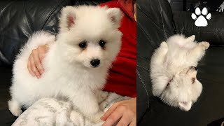 Japanese Spitz Puppy from birth day 1 to 8 weeks to new home. 日本银狐宝宝从出生到8周满月回家。