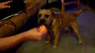 Border Terrier Gruffle Singing