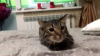 Бенгальский кот Марс смотрит Фильм Ужасов / Bengal cat Mars is Watching Scary movie