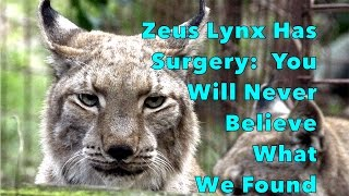 Zeus Lynx Had Surgery: You Will Never Believe What We Found