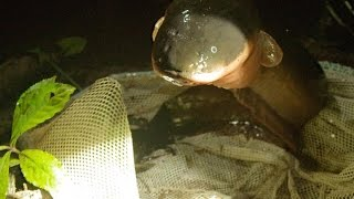 ​Electric Eels Carry All Their Organs in Their Heads