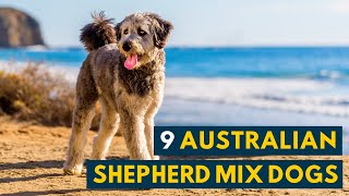 Australian Shepherd Mix Dogs: 9 Of the Most Intelligent and Hardworking Aussie Mixes!