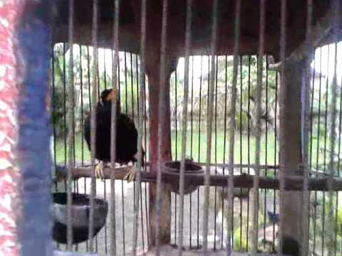Mynah Talking bird Talks a Lot!