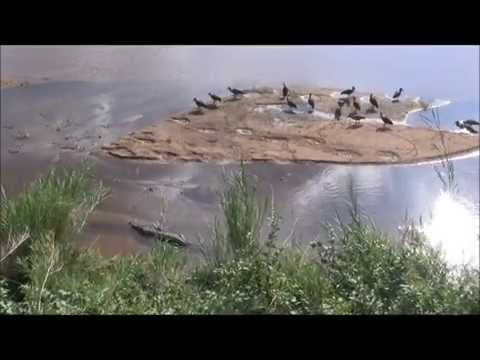 Sabie River Crocodile at Skukuza Restplace Kruger National Park South Africa