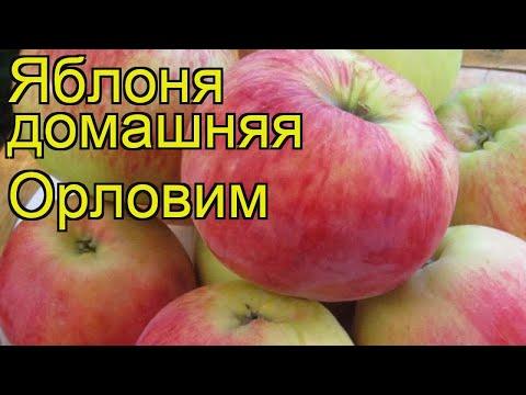 Яблоня домашняя Орловим. Краткий обзор, описание характеристик malus domestica Orlovim