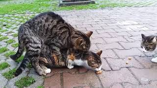 Cats Mating very Loudly Screaming Sound 🐈🐈. Animal Mating.