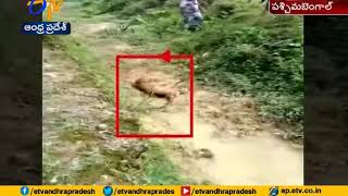 Watch video | Injured leopard attacks man clicking its photos in Bengal