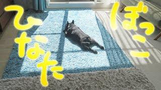 犬は日向ぼっこが大好き ココの室内日光浴の様子