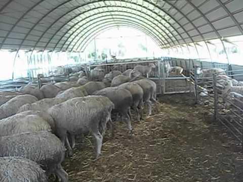ברצינות הכבשים בחוות מבוא דותן בשעת הסעודה - YouTube JG-22