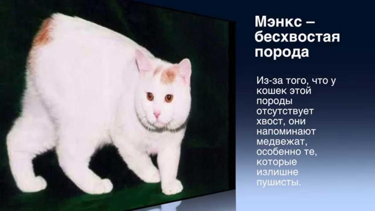 редкие породы кошек с фотографиями