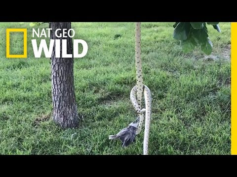 Two Hungry Snakes Fight Over a Bird in Rare Encounter   Nat Geo Wild