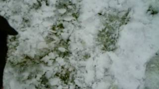 Border Collie Puppy Playing in the Snow!!
