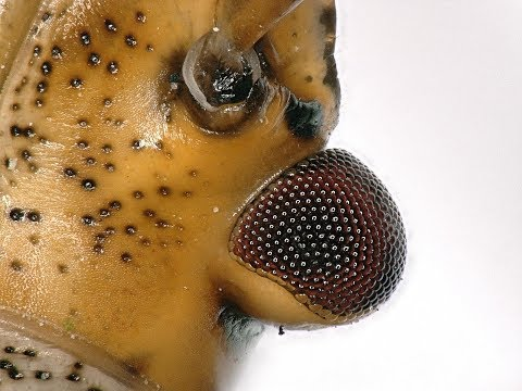 Stink Bug Squirting liquid under the microscope