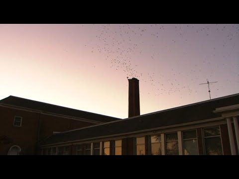 Thousands Of Swifts Swarm In Monroe, Washington - KING 5 Evening