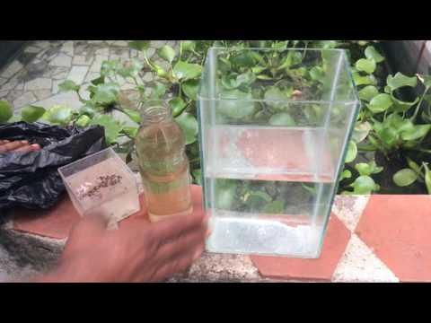 Reproducir mas de 10,000 larvas de mosquitos en varios dias en tu casa