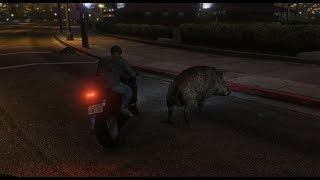 GTA 5 Wild Hogs Hanging Out + Attacks