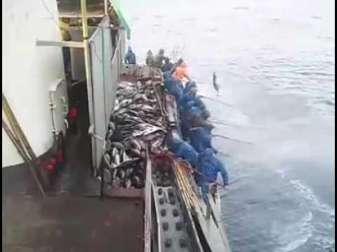 Pole And Line Fishing Tuna