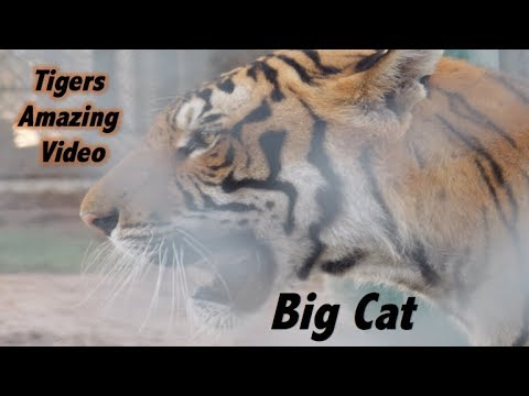 Tigers Fighting and Swimming - Awesome big cats  | Ideal Toddlers School - youtube