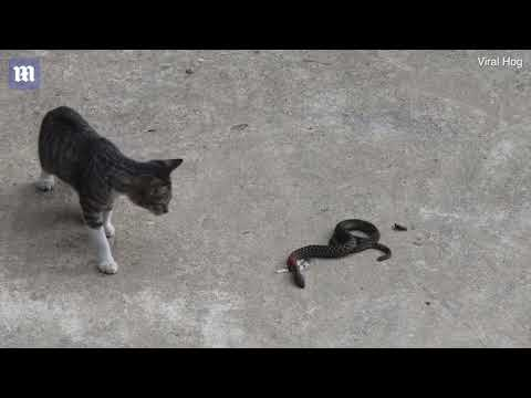 Fearless cat attacks a snake for two minutes