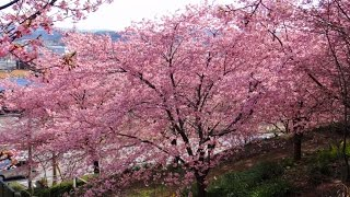 JR君津駅から約1キロの住宅地にある早咲き桜園『チェリーガーデン』河津...