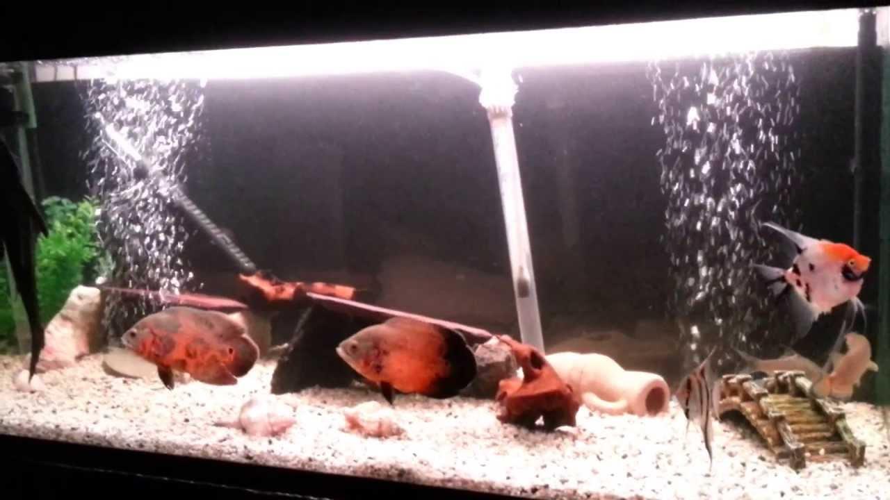 Fish aquarium oscar - Fish Aquarium Oscar