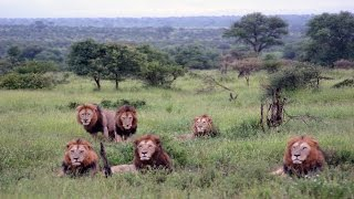 6 Male Lions at Crocodile Bridge in the Kruger National Park ~ January 2011