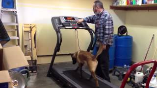 Training A Dog To Run On A Treadmill