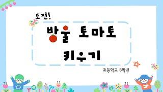 도전! 방울 토마토 키우기 (온라인 수업용)