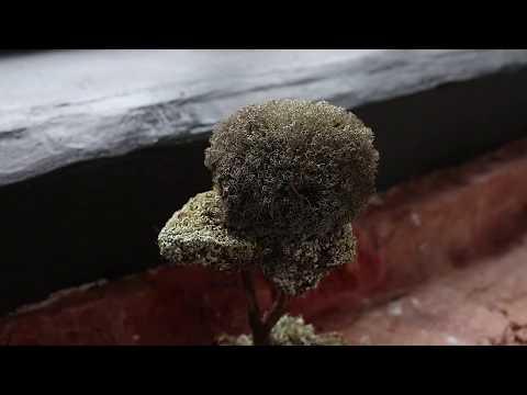 Живое деревце здоровья МОХ- ЦЕЛИТЕЛЬ