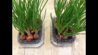 Выращивание лука на перо / Как вырастить лук на зелень