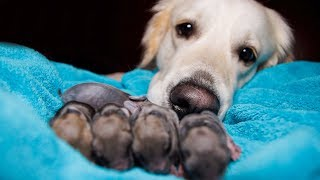 Golden Retriever and Baby Bunnies 3 days old [CUTENESS OVERLOAD]