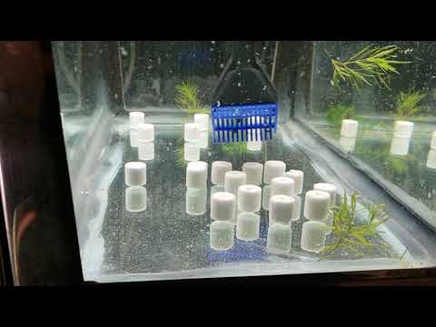 Breeding Puntius Fasciatus (panda Barbs) Video 1