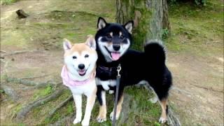 とても仲良しな柴犬2匹。離れてもまたひっつく姿が可愛すぎる!