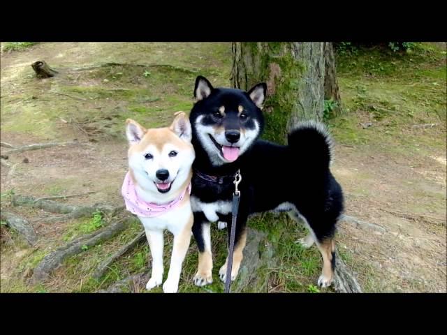 離れてもくっつくなかよし柴犬 Good friend Shiba dogs