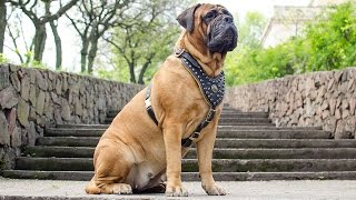 Designer Padded Leather Dog Harness For Bullmastiff And Other Large Breed Canines