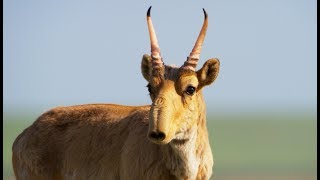 L'étrange antilope saïga - ZAPPING SAUVAGE