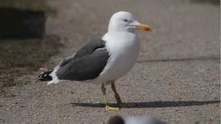 Lesser Black-backed Gull alarm call