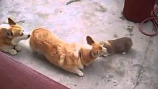 Puppy Welsh Corgi Pembroke / 45dias/canil Sema Beagles & Corgis