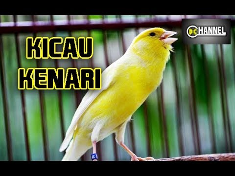 Download Lagu Masteran Suara Kenari Gacor Masteran Kenari Durasi Panjang