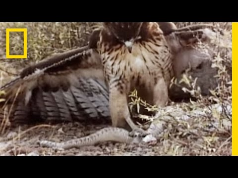 Red-Tailed Hawk vs. Rattler | National Geographic
