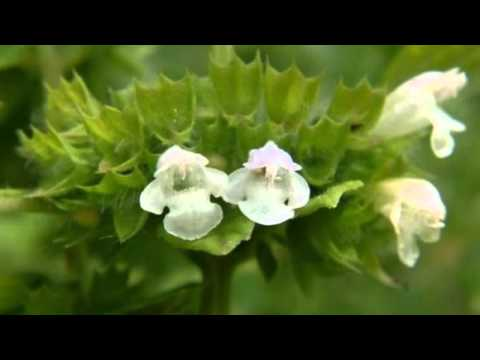 Лекарственные травы для поджелудочной железы при