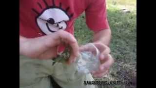 Как размножить самшит черенками